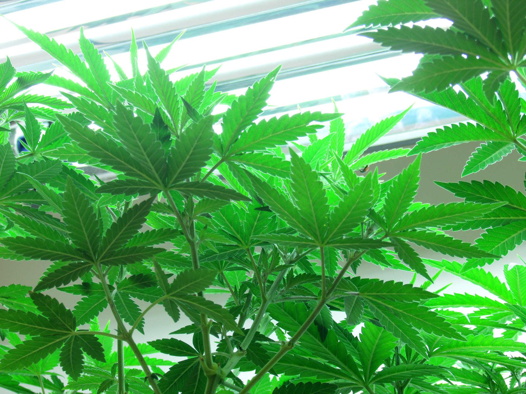 Marijuana in Durango Colorado